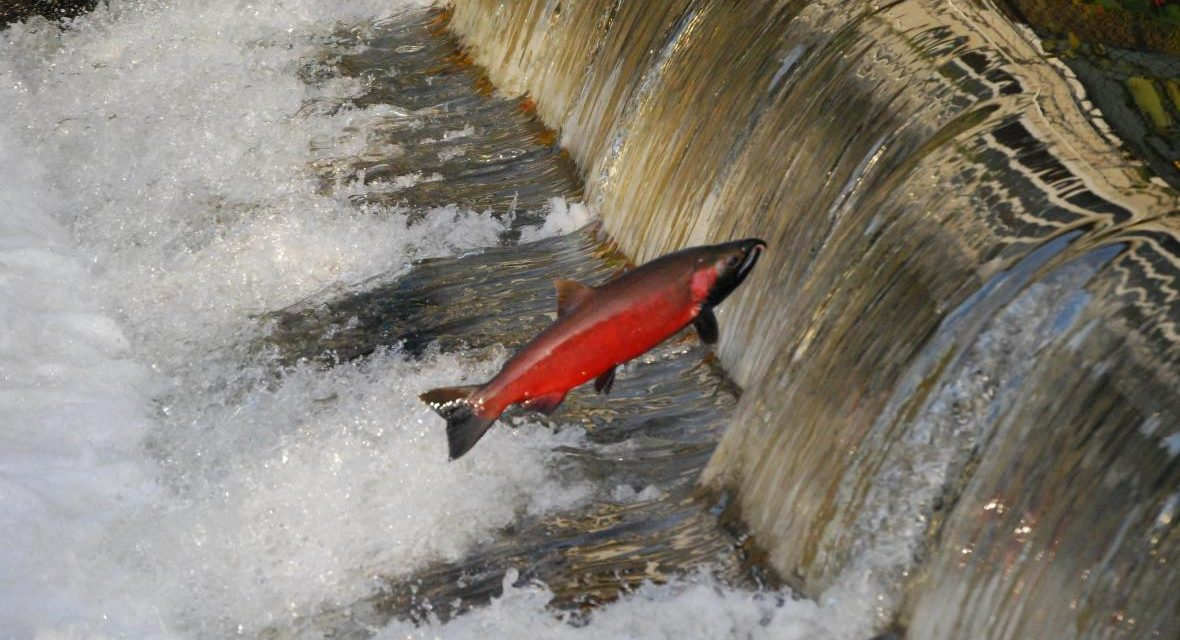 How's it Going at King County Salmon Hatcheries?