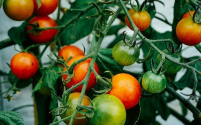 Tomato Growing Tips from The Beer Garden (Video)