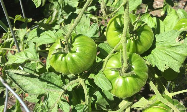 The Beer Garden: Simple Tricks To Ripen Tomatoes (video)